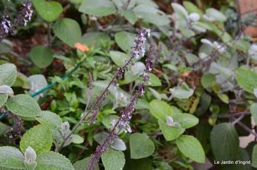ménage automne,plectanthrus,feuillages 137.JPG