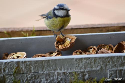 jonquilles,oiseaux avec noix,taille arbres,jardin 065.JPG