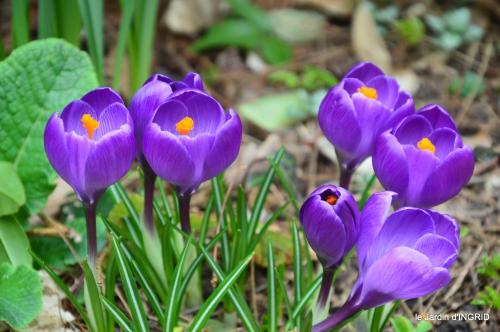 pluie,violettes,hélébores,jonquilles,jardin 053.JPG