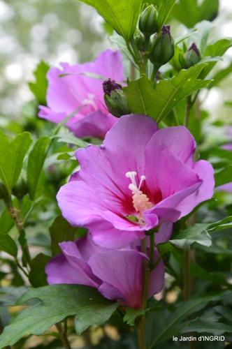 Issygeac,st Avit Seigneur,carpes kois,jardin,fleurs rouges 160.JPG