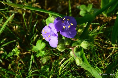 fleurs bleues,hortensia bleu,moi bébé 020.JPG