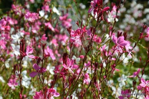 dahlias,massifs refaits,Lalinde,jardin 098.JPG