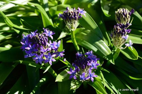 géraniums,glycine Monpazier,cabane,arums,fleurs sauvages 033.JPG