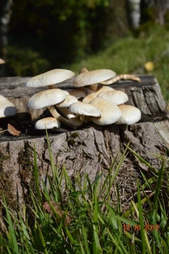 champignons,citrouilles,st Mayme de Péreyrol,fuschias,jardin aut 002.JPG