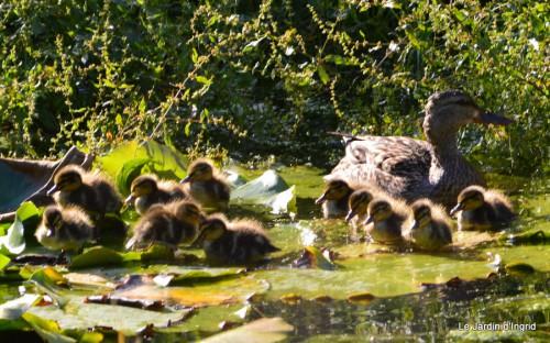 puces Lalinde,bébés canards,au moulin souci 180.JPG