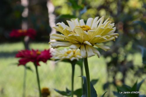 jardin Mme Perichou,grandes fleurs,bouquet,jardin 003.JPG
