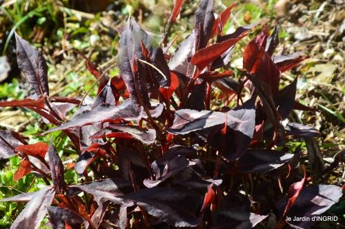 Rouge,narcisse,jardin 024.JPG