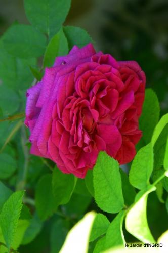 le jardin de Frescati,roses 063.JPG