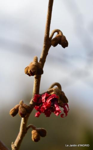 hélébores,bruyères,arbustes fleuries,mésanges 069.JPG