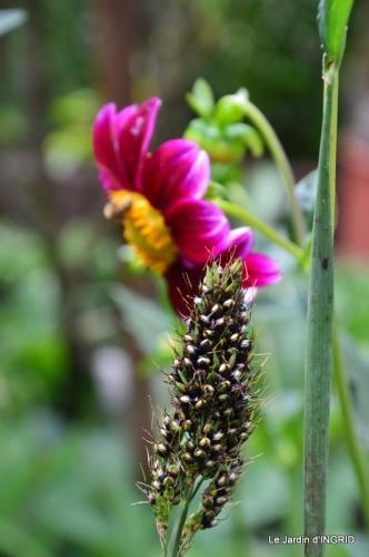 robe Julie,jardin,le flambé,lantanas,dahlias 054.JPG