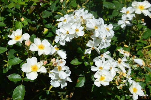 le jardin de Frescati,roses 025.JPG
