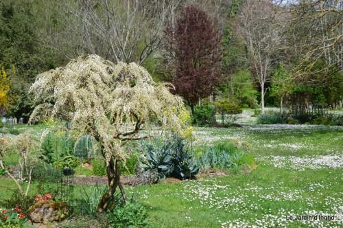 paquerettes,arums,laurier palme,jardin 029.JPG