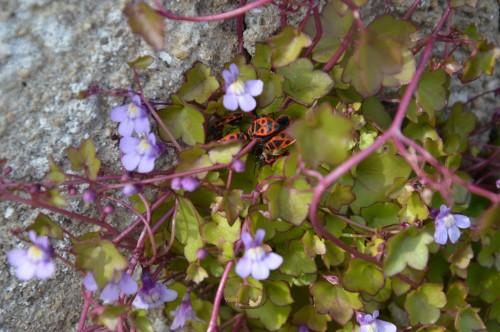 fleurs Ciron,jardin,canards,coucous,mauvaise herbe 033.JPG