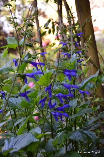 fleurs bleues,hortensia bleu,moi bébé 009.JPG
