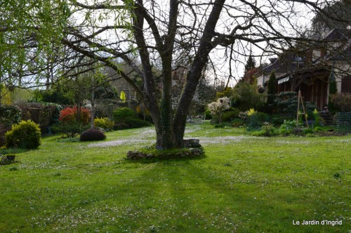 jardin ,cane sauvage,paquerettes,tulipes 155.JPG