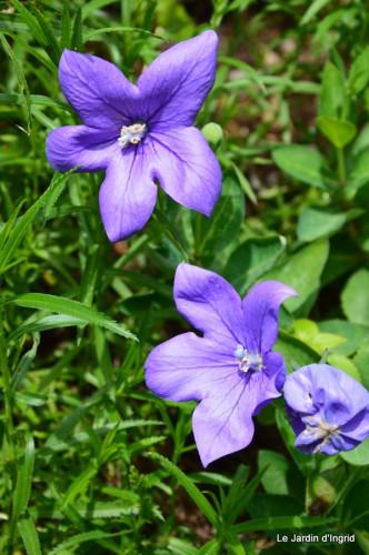 fleurs bleues,hortensia bleu,moi bébé 036.JPG