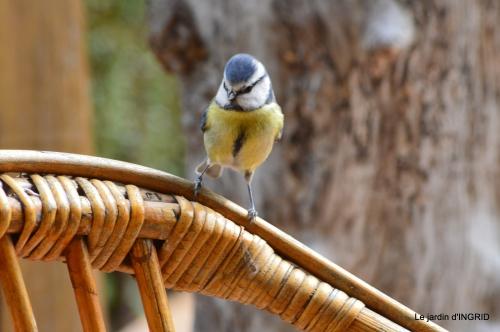 jonquilles,oiseaux avec noix,taille arbres,jardin 097.JPG
