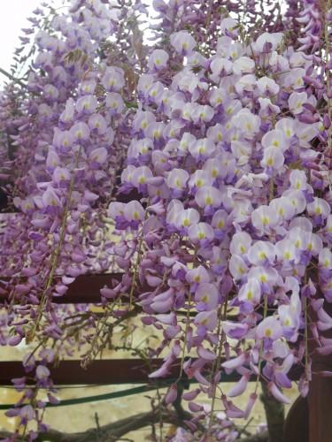 tulipes,magnolia,giroflée,pensée