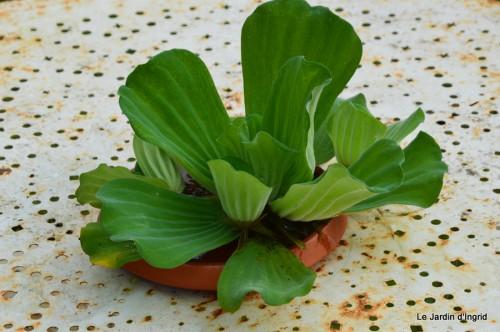 ménage automne,plectanthrus,feuillages 124.JPG