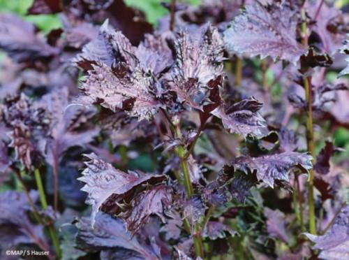 Plante-labiees-perilla-de-nankin_w641h478.jpg