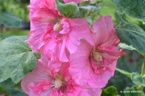 rose trémières,INES,,en ce moment en juin 028.JPG