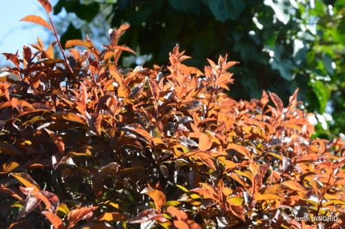 Rouge,narcisse,jardin 039.JPG
