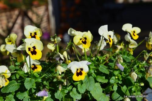 tulipes,crocus ,jardin 043.JPG