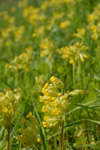 avant tonte,après,euphorbes,tulipes botaniques,autres 056.JPG