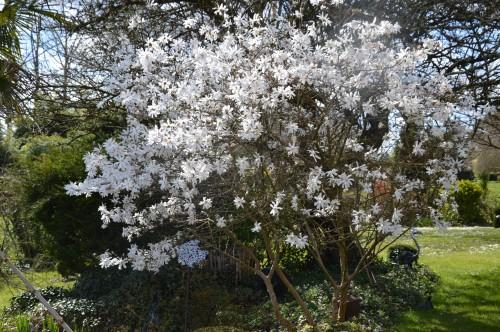 troc graines Neufont,magnolia stelleta 060.JPG