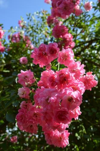 jardin,potager,roses,sauges 102.JPG