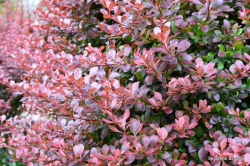 roses,Lalinde,toit cabane,pourpre,eglise,jardin tondue 095.JPG
