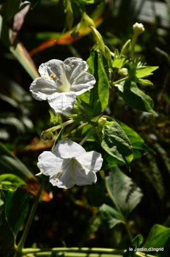 jardin,asters,fleurs blanches,chatte,rosiers roses 021.JPG
