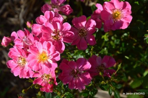 rose trémières,INES,,en ce moment en juin 049.JPG