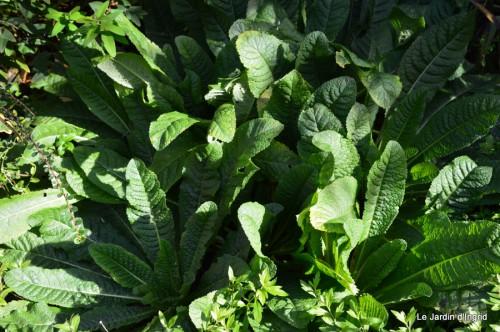 ménage automne,plectanthrus,feuillages 057.JPG
