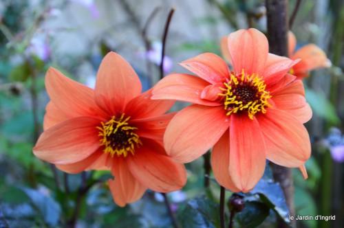 jardin,asters,fleurs blanches,chatte,rosiers roses 003.JPG