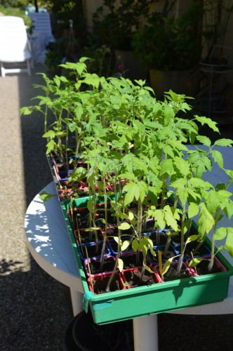 iris,arbre de judée,pivoine,Arya,viburnum,pts plants,cytise,akéb 064.JPG
