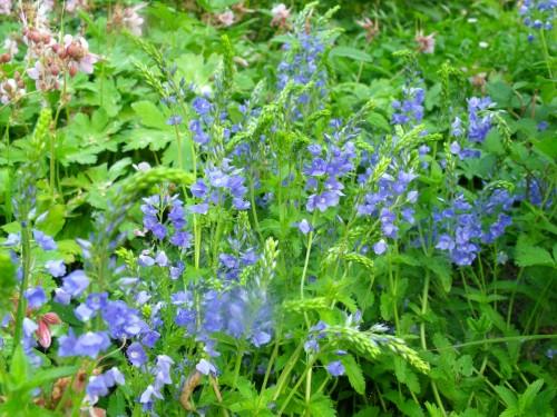 Fleurs bleues vivaces rampantes - Phlox vivace couvre sol ...