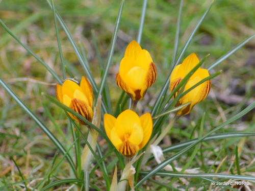 premières fleurs février,la pluie,la fauvette,hélébores 056.JPG