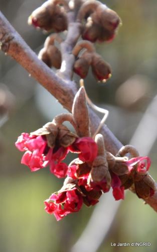 hélébores,bruyères,arbustes fleuries,mésanges 085.JPG