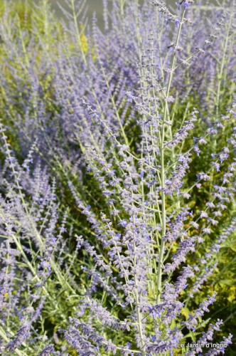 fleurs bleues,hortensia bleu,moi bébé 074.JPG