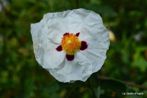 canal,fleurs blanches,marguerites,LE FLEIX,osier 166.JPG