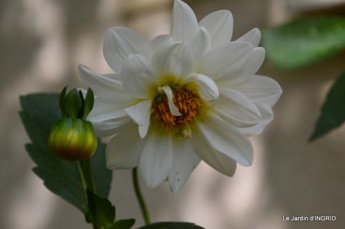 dahlias,massifs refaits,Lalinde,jardin 075.JPG