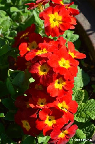 Rouge,narcisse,jardin 008.JPG