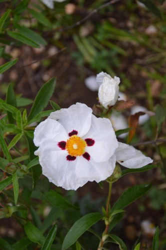 rosiers,fleurs blanches,pollen,magasin 071.JPG