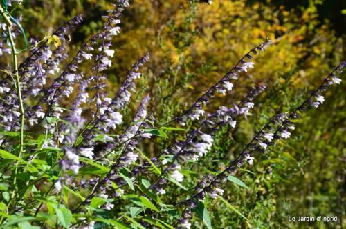 ménage automne,plectanthrus,feuillages 007.JPG