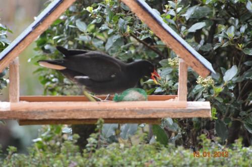 oiseaux,poules,plantes janvier 097.JPG