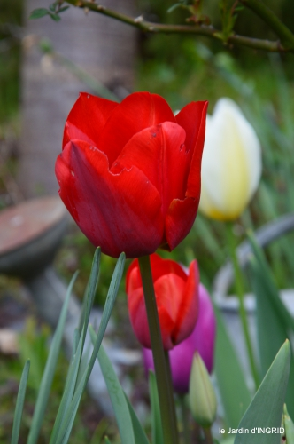 tulipes,Julie,golf,jardin 160.JPG
