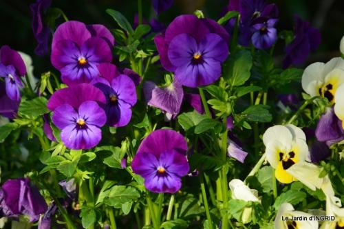 jardin avril,tulipes pivoine,iris d'eau,chenilles 127.JPG