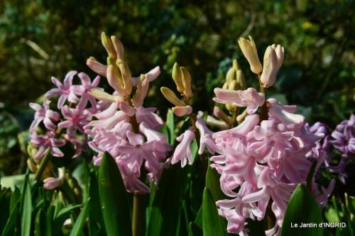 roseaux,narcisses,Nikky,semis,jardin 043-001.JPG
