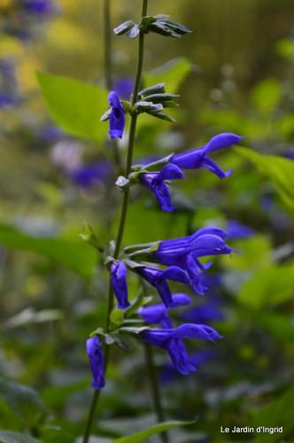 fleurs bleues,hortensia bleu,moi bébé 006.JPG